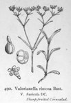 "Gefurchter Feldsalat - Valerianella rimosa; Bildquelle: <a href=""https://www.pflanzen-deutschland.de/quellen.php?bild_quelle=Illustrations of the British Flora 1924 - Walter Hood Fitch"">Illustrations of the British Flora 1924 - Walter Hood Fitch</a>; Bildlizenz: <a href=""https://creativecommons.org/licenses/publicdomain/deed.de"" target=_blank title=""Public Domain"">Public Domain</a>;"