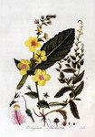 """Schaben-Königskerze - Verbascum blattaria; Bildquelle: <a href=""""https://www.pflanzen-deutschland.de/quellen.php?bild_quelle=Jan Kops, Flora Batava, Volume 2 1807"""">Jan Kops, Flora Batava, Volume 2 1807</a>; Bildlizenz: <a href=""""https://creativecommons.org/licenses/by-sa/3.0/deed.de"""" target=_blank title=""""Namensnennung - Weitergabe unter gleichen Bedingungen 3.0 Unported (CC BY-SA 3.0)"""">CC BY-SA 3.0</a>;"""