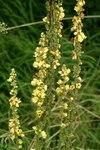 """Schwarze Königskerze - Verbascum nigrum; Bildquelle: &copy; <a href=""""https://www.pflanzen-deutschland.de/quellen.php?bild_quelle=Bönisch 2009"""">Bönisch 2009</a> - <b>All rights reserved</b>"""