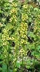 """Schwarze Königskerze - Verbascum nigrum; Bildquelle: <a href=""""https://www.pflanzen-deutschland.de/quellen.php?bild_quelle=Wolfgang Heinrich, Erlangen"""">Wolfgang Heinrich, Erlangen</a>; Bildlizenz: <a href="""""""" target=_blank title=""""""""></a>;"""
