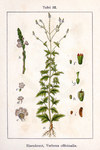 "Gewöhnliches Eisenkraut - Verbena officinalis; Bildquelle: <a href=""https://www.pflanzen-deutschland.de/quellen.php?bild_quelle=Wikipedia User Ayacop"">Wikipedia User Ayacop</a>; Bildlizenz: <a href=""https://creativecommons.org/licenses/by-sa/3.0/deed.de"" target=_blank title=""Namensnennung - Weitergabe unter gleichen Bedingungen 3.0 Unported (CC BY-SA 3.0)"">CC BY-SA 3.0</a>; <br>Wiki Commons Bildbeschreibung: <a href=""https://commons.wikimedia.org/wiki/File:Verbena_officinalis_Sturm22.jpg"" target=_blank title=""https://commons.wikimedia.org/wiki/File:Verbena_officinalis_Sturm22.jpg"">https://commons.wikimedia.org/wiki/File:Verbena_officinalis_Sturm22.jpg</a>"
