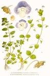"""Acker-Ehrenpreis - Veronica agrestis; Bildquelle: <a href=""""https://www.pflanzen-deutschland.de/quellen.php?bild_quelle=Carl Axel Magnus Lindman Bilder ur Nordens Flora 1901-1905"""">Carl Axel Magnus Lindman Bilder ur Nordens Flora 1901-1905</a>; Bildlizenz: <a href=""""https://creativecommons.org/licenses/publicdomain/deed.de"""" target=_blank title=""""Public Domain"""">Public Domain</a>;"""