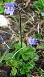 """Blattloser Ehrenpreis - Veronica aphylla; Bildquelle: <a href=""""https://www.pflanzen-deutschland.de/quellen.php?bild_quelle=Wikipedia User Selso"""">Wikipedia User Selso</a>; Bildlizenz: <a href=""""https://creativecommons.org/licenses/by-sa/3.0/deed.de"""" target=_blank title=""""Namensnennung - Weitergabe unter gleichen Bedingungen 3.0 Unported (CC BY-SA 3.0)"""">CC BY-SA 3.0</a>;"""