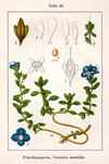 """Halbstrauch-Ehrenpreis - Veronica fruticulosa; Bildquelle: <a href=""""https://www.pflanzen-deutschland.de/quellen.php?bild_quelle=Deutschlands Flora in Abbildungen 1796"""">Deutschlands Flora in Abbildungen 1796</a>; Bildlizenz: <a href=""""https://creativecommons.org/licenses/publicdomain/deed.de"""" target=_blank title=""""Public Domain"""">Public Domain</a>;"""