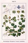 """Efeu-Ehrenpreis - Veronica hederifolia; Bildquelle: <a href=""""https://www.pflanzen-deutschland.de/quellen.php?bild_quelle=Wikipedia User Ayacop"""">Wikipedia User Ayacop</a>; Bildlizenz: <a href=""""https://creativecommons.org/licenses/by-sa/3.0/deed.de"""" target=_blank title=""""Namensnennung - Weitergabe unter gleichen Bedingungen 3.0 Unported (CC BY-SA 3.0)"""">CC BY-SA 3.0</a>;"""