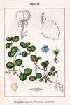 """Berg-Ehrenpreis - Veronica montana; Bildquelle: <a href=""""https://www.pflanzen-deutschland.de/quellen.php?bild_quelle=Wikipedia User Ayacop"""">Wikipedia User Ayacop</a>; Bildlizenz: <a href=""""https://creativecommons.org/licenses/by-sa/3.0/deed.de"""" target=_blank title=""""Namensnennung - Weitergabe unter gleichen Bedingungen 3.0 Unported (CC BY-SA 3.0)"""">CC BY-SA 3.0</a>;"""
