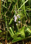 "Echter Ehrenpreis - Veronica officinalis; Bildquelle: <a href=""https://www.pflanzen-deutschland.de/quellen.php?bild_quelle=Wikipedia User BerndH"">Wikipedia User BerndH</a>; Bildlizenz: <a href=""https://creativecommons.org/licenses/by-sa/3.0/deed.de"" target=_blank title=""Namensnennung - Weitergabe unter gleichen Bedingungen 3.0 Unported (CC BY-SA 3.0)"">CC BY-SA 3.0</a>; <br>Wiki Commons Bildbeschreibung: <a href=""https://commons.wikimedia.org/wiki/File:Veronica_officinalis_100606.jpg"" target=_blank title=""https://commons.wikimedia.org/wiki/File:Veronica_officinalis_100606.jpg"">https://commons.wikimedia.org/wiki/File:Veronica_officinalis_100606.jpg</a>"