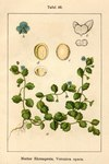 "Glanzloser Ehrenpreis - Veronica opaca; Bildquelle: <a href=""https://www.pflanzen-deutschland.de/quellen.php?bild_quelle=Deutschlands Flora in Abbildungen 1796"">Deutschlands Flora in Abbildungen 1796</a>; Bildlizenz: <a href=""https://creativecommons.org/licenses/publicdomain/deed.de"" target=_blank title=""Public Domain"">Public Domain</a>;"