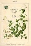 """Glänzender Ehrenpreis - Veronica polita; Bildquelle: <a href=""""https://www.pflanzen-deutschland.de/quellen.php?bild_quelle=Deutschlands Flora in Abbildungen 1796"""">Deutschlands Flora in Abbildungen 1796</a>; Bildlizenz: <a href=""""https://creativecommons.org/licenses/publicdomain/deed.de"""" target=_blank title=""""Public Domain"""">Public Domain</a>;"""