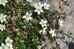 """Zweiblütiges Sandkraut - Arenaria biflora; Bildquelle: <a href=""""https://www.pflanzen-deutschland.de/quellen.php?bild_quelle=Wikipedia User HermannSchachner"""">Wikipedia User HermannSchachner</a>; Bildlizenz: <a href=""""https://creativecommons.org/licenses/by-sa/3.0/deed.de"""" target=_blank title=""""Namensnennung - Weitergabe unter gleichen Bedingungen 3.0 Unported (CC BY-SA 3.0)"""">CC BY-SA 3.0</a>; <br>Wiki Commons Bildbeschreibung: <a href=""""https://commons.wikimedia.org/wiki/File:Arenaria_biflora_(Zweibl%C3%BCten-Sandkraut)_IMG_8996.jpg"""" target=_blank title=""""https://commons.wikimedia.org/wiki/File:Arenaria_biflora_(Zweibl%C3%BCten-Sandkraut)_IMG_8996.jpg"""">https://commons.wikimedia.org/wiki/File:Arenaria_biflora_(Zweibl%C3%BCten-Sandkraut)_IMG_8996.jpg</a>"""