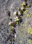 """Zweiblütiges Sandkraut - Arenaria biflora; Bildquelle: <a href=""""https://www.pflanzen-deutschland.de/quellen.php?bild_quelle=Wikipedia User Tigerente"""">Wikipedia User Tigerente</a>; Bildlizenz: <a href=""""https://creativecommons.org/licenses/by-sa/3.0/deed.de"""" target=_blank title=""""Namensnennung - Weitergabe unter gleichen Bedingungen 3.0 Unported (CC BY-SA 3.0)"""">CC BY-SA 3.0</a>;"""