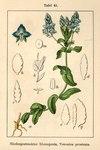 """Niederliegender Ehrenpreis - Veronica prostrata; Bildquelle: <a href=""""https://www.pflanzen-deutschland.de/quellen.php?bild_quelle=Deutschlands Flora in Abbildungen 1796"""">Deutschlands Flora in Abbildungen 1796</a>; Bildlizenz: <a href=""""https://creativecommons.org/licenses/publicdomain/deed.de"""" target=_blank title=""""Public Domain"""">Public Domain</a>;"""