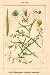 """Schild-Ehrenpreis - Veronica scutellata; Bildquelle: <a href=""""https://www.pflanzen-deutschland.de/quellen.php?bild_quelle=Deutschlands Flora in Abbildungen 1796"""">Deutschlands Flora in Abbildungen 1796</a>; Bildlizenz: <a href=""""https://creativecommons.org/licenses/publicdomain/deed.de"""" target=_blank title=""""Public Domain"""">Public Domain</a>;"""