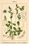 "Quendel-Ehrenpreis - Veronica serpyllifolia; Bildquelle: <a href=""https://www.pflanzen-deutschland.de/quellen.php?bild_quelle=Deutschlands Flora in Abbildungen, Johann Georg Sturm 1796"">Deutschlands Flora in Abbildungen, Johann Georg Sturm 1796</a>; Bildlizenz: <a href=""https://creativecommons.org/licenses/publicdomain/deed.de"" target=_blank title=""Public Domain"">Public Domain</a>;"