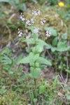 """Nesselblättriger Ehrenpreis - Veronica urticifolia; Bildquelle: <a href=""""https://www.pflanzen-deutschland.de/quellen.php?bild_quelle=Wikipedia User Uleli"""">Wikipedia User Uleli</a>; Bildlizenz: <a href=""""https://creativecommons.org/licenses/by-sa/3.0/deed.de"""" target=_blank title=""""Namensnennung - Weitergabe unter gleichen Bedingungen 3.0 Unported (CC BY-SA 3.0)"""">CC BY-SA 3.0</a>;"""