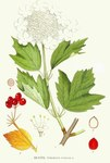 "Gewöhnlicher Schneeball - Viburnum opulus; Bildquelle: <a href=""https://www.pflanzen-deutschland.de/quellen.php?bild_quelle=Carl Axel Magnus Lindman Bilder ur Nordens Flora 1901-1905"">Carl Axel Magnus Lindman Bilder ur Nordens Flora 1901-1905</a>; Bildlizenz: <a href=""https://creativecommons.org/licenses/publicdomain/deed.de"" target=_blank title=""Public Domain"">Public Domain</a>;"