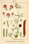 """Schmalblättrige Wicke - Vicia angustifolia; Bildquelle: <a href=""""https://www.pflanzen-deutschland.de/quellen.php?bild_quelle=Deutschlands Flora in Abbildungen 1796"""">Deutschlands Flora in Abbildungen 1796</a>; Bildlizenz: <a href=""""https://creativecommons.org/licenses/publicdomain/deed.de"""" target=_blank title=""""Public Domain"""">Public Domain</a>;"""