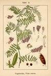 """Gewöhnliche Vogel-Wicke - Vicia cracca; Bildquelle: <a href=""""https://www.pflanzen-deutschland.de/quellen.php?bild_quelle=Deutschlands Flora in Abbildungen 1796"""">Deutschlands Flora in Abbildungen 1796</a>; Bildlizenz: <a href=""""https://creativecommons.org/licenses/publicdomain/deed.de"""" target=_blank title=""""Public Domain"""">Public Domain</a>;"""