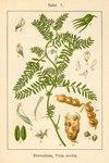 "Linsen-Wicke - Vicia ervilia; Bildquelle: <a href=""https://www.pflanzen-deutschland.de/quellen.php?bild_quelle=Deutschlands Flora in Abbildungen 1796"">Deutschlands Flora in Abbildungen 1796</a>; Bildlizenz: <a href=""https://creativecommons.org/licenses/publicdomain/deed.de"" target=_blank title=""Public Domain"">Public Domain</a>;"