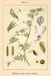 "Behaarte Wicke - Vicia hirsuta; Bildquelle: <a href=""https://www.pflanzen-deutschland.de/quellen.php?bild_quelle=Deutschlands Flora in Abbildungen 1796"">Deutschlands Flora in Abbildungen 1796</a>; Bildlizenz: <a href=""https://creativecommons.org/licenses/publicdomain/deed.de"" target=_blank title=""Public Domain"">Public Domain</a>;"