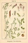 "Platterbsen-Wicke - Vicia lathyroides; Bildquelle: <a href=""https://www.pflanzen-deutschland.de/quellen.php?bild_quelle=Deutschlands Flora in Abbildungen 1796"">Deutschlands Flora in Abbildungen 1796</a>; Bildlizenz: <a href=""https://creativecommons.org/licenses/publicdomain/deed.de"" target=_blank title=""Public Domain"">Public Domain</a>;"