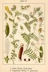 "Gelbe Wicke - Vicia lutea; Bildquelle: <a href=""https://www.pflanzen-deutschland.de/quellen.php?bild_quelle=Deutschlands Flora in Abbildungen 1796"">Deutschlands Flora in Abbildungen 1796</a>; Bildlizenz: <a href=""https://creativecommons.org/licenses/publicdomain/deed.de"" target=_blank title=""Public Domain"">Public Domain</a>;"