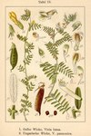"Ungarische Wicke - Vicia pannonica; Bildquelle: <a href=""https://www.pflanzen-deutschland.de/quellen.php?bild_quelle=Deutschlands Flora in Abbildungen 1796"">Deutschlands Flora in Abbildungen 1796</a>; Bildlizenz: <a href=""https://creativecommons.org/licenses/publicdomain/deed.de"" target=_blank title=""Public Domain"">Public Domain</a>;"