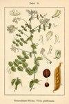 "Erbsen-Wicke - Vicia pisiformis; Bildquelle: <a href=""https://www.pflanzen-deutschland.de/quellen.php?bild_quelle=Deutschlands Flora in Abbildungen 1796"">Deutschlands Flora in Abbildungen 1796</a>; Bildlizenz: <a href=""https://creativecommons.org/licenses/publicdomain/deed.de"" target=_blank title=""Public Domain"">Public Domain</a>;"