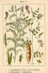 """Feinblättrige Vogel-Wicke - Vicia tenuifolia; Bildquelle: <a href=""""https://www.pflanzen-deutschland.de/quellen.php?bild_quelle=Deutschlands Flora in Abbildungen 1796"""">Deutschlands Flora in Abbildungen 1796</a>; Bildlizenz: <a href=""""https://creativecommons.org/licenses/publicdomain/deed.de"""" target=_blank title=""""Public Domain"""">Public Domain</a>;"""