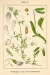 "Viersamige Wicke - Vicia tetrasperma; Bildquelle: <a href=""https://www.pflanzen-deutschland.de/quellen.php?bild_quelle=Deutschlands Flora in Abbildungen 1796"">Deutschlands Flora in Abbildungen 1796</a>; Bildlizenz: <a href=""https://creativecommons.org/licenses/publicdomain/deed.de"" target=_blank title=""Public Domain"">Public Domain</a>;"