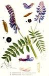"""Zottige Wicke - Vicia villosa; Bildquelle: <a href=""""https://www.pflanzen-deutschland.de/quellen.php?bild_quelle=Carl Axel Magnus Lindman Bilder ur Nordens Flora 1901-1905"""">Carl Axel Magnus Lindman Bilder ur Nordens Flora 1901-1905</a>; Bildlizenz: <a href=""""https://creativecommons.org/licenses/publicdomain/deed.de"""" target=_blank title=""""Public Domain"""">Public Domain</a>;"""