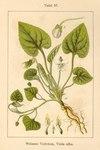 """Weißes Veilchen - Viola alba; Bildquelle: <a href=""""https://www.pflanzen-deutschland.de/quellen.php?bild_quelle=Deutschlands Flora in Abbildungen 1796"""">Deutschlands Flora in Abbildungen 1796</a>; Bildlizenz: <a href=""""https://creativecommons.org/licenses/publicdomain/deed.de"""" target=_blank title=""""Public Domain"""">Public Domain</a>;"""