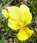 """Gelbes Galmei-Stiefmütterchen - Viola calaminaria; Bildquelle: <a href=""""https://www.pflanzen-deutschland.de/quellen.php?bild_quelle=Wikipedia User Gouvernante"""">Wikipedia User Gouvernante</a>; Bildlizenz: <a href=""""https://creativecommons.org/licenses/by-sa/3.0/deed.de"""" target=_blank title=""""Namensnennung - Weitergabe unter gleichen Bedingungen 3.0 Unported (CC BY-SA 3.0)"""">CC BY-SA 3.0</a>;"""