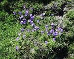 """Gesporntes Stiefmütterchen - Viola calcarata; Bildquelle: <a href=""""https://www.pflanzen-deutschland.de/quellen.php?bild_quelle=Wikipedia User Abalg"""">Wikipedia User Abalg</a>; Bildlizenz: <a href=""""https://creativecommons.org/licenses/by-sa/3.0/deed.de"""" target=_blank title=""""Namensnennung - Weitergabe unter gleichen Bedingungen 3.0 Unported (CC BY-SA 3.0)"""">CC BY-SA 3.0</a>;"""