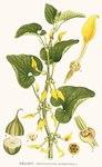 "Gewöhnliche Osterluzei - Aristolochia clematitis; Bildquelle: <a href=""https://www.pflanzen-deutschland.de/quellen.php?bild_quelle=Carl Axel Magnus Lindman Bilder ur Nordens Flora 1901-1905"">Carl Axel Magnus Lindman Bilder ur Nordens Flora 1901-1905</a>; Bildlizenz: <a href=""https://creativecommons.org/licenses/publicdomain/deed.de"" target=_blank title=""Public Domain"">Public Domain</a>;"