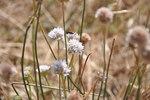 """Wegerich-Grasnelke - Armeria arenaria; Bildquelle: <a href=""""https://www.pflanzen-deutschland.de/quellen.php?bild_quelle=Wikipedia User Xemenendura"""">Wikipedia User Xemenendura</a>; Bildlizenz: <a href=""""https://creativecommons.org/licenses/by-sa/3.0/deed.de"""" target=_blank title=""""Namensnennung - Weitergabe unter gleichen Bedingungen 3.0 Unported (CC BY-SA 3.0)"""">CC BY-SA 3.0</a>; <br>Wiki Commons Bildbeschreibung: <a href=""""https://commons.wikimedia.org/wiki/File:Armeria_arenaria_3.jpg"""" target=_blank title=""""https://commons.wikimedia.org/wiki/File:Armeria_arenaria_3.jpg"""">https://commons.wikimedia.org/wiki/File:Armeria_arenaria_3.jpg</a>"""