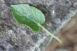 """Pyrenäen-Veilchen - Viola pyrenaica; Bildquelle: <a href=""""https://www.pflanzen-deutschland.de/quellen.php?bild_quelle=Wikipedia User Abalg"""">Wikipedia User Abalg</a>; Bildlizenz: <a href=""""https://creativecommons.org/licenses/by-sa/3.0/deed.de"""" target=_blank title=""""Namensnennung - Weitergabe unter gleichen Bedingungen 3.0 Unported (CC BY-SA 3.0)"""">CC BY-SA 3.0</a>;"""