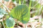 """Hain-Veilchen - Viola riviniana; Bildquelle: <a href=""""https://www.pflanzen-deutschland.de/quellen.php?bild_quelle=Wikipedia User Svdmolen"""">Wikipedia User Svdmolen</a>; Bildlizenz: <a href=""""https://creativecommons.org/licenses/by-sa/3.0/deed.de"""" target=_blank title=""""Namensnennung - Weitergabe unter gleichen Bedingungen 3.0 Unported (CC BY-SA 3.0)"""">CC BY-SA 3.0</a>;"""
