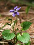 """Hain-Veilchen - Viola riviniana; Bildquelle: © <a href=""""https://www.pflanzen-deutschland.de/quellen.php?bild_quelle=Bönisch 2012"""">Bönisch 2012</a> - <b>All rights reserved</b>"""