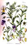 """Wildes Stiefmütterchen - Viola tricolor; Bildquelle: <a href=""""https://www.pflanzen-deutschland.de/quellen.php?bild_quelle=Otto Wilhelm Thome Flora von Deutschland, Österreich und der Schweiz 1905, Gera, Germany"""">Otto Wilhelm Thome Flora von Deutschland, Österreich und der Schweiz 1905, Gera, Germany</a>; Bildlizenz: <a href=""""https://creativecommons.org/licenses/by-sa/3.0/deed.de"""" target=_blank title=""""Namensnennung - Weitergabe unter gleichen Bedingungen 3.0 Unported (CC BY-SA 3.0)"""">CC BY-SA 3.0</a>;"""