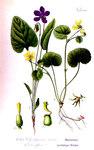 """Moor-Veilchen - Viola uliginosa; Bildquelle: <a href=""""https://www.pflanzen-deutschland.de/quellen.php?bild_quelle=Otto Wilhelm Thome Flora von Deutschland, Österreich und der Schweiz 1905, Gera, Germany"""">Otto Wilhelm Thome Flora von Deutschland, Österreich und der Schweiz 1905, Gera, Germany</a>; Bildlizenz: <a href=""""https://creativecommons.org/licenses/by-sa/3.0/deed.de"""" target=_blank title=""""Namensnennung - Weitergabe unter gleichen Bedingungen 3.0 Unported (CC BY-SA 3.0)"""">CC BY-SA 3.0</a>;"""