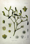 "Mistel - Viscum album; Bildquelle: <a href=""https://www.pflanzen-deutschland.de/quellen.php?bild_quelle=Köhlers Medizinal-Pflanzen in naturgetreuen Abbildungen mit kurz erläuterndem Texte. Band 1. 1887"">Köhlers Medizinal-Pflanzen in naturgetreuen Abbildungen mit kurz erläuterndem Texte. Band 1. 1887</a>; Bildlizenz: <a href=""https://creativecommons.org/licenses/publicdomain/deed.de"" target=_blank title=""Public Domain"">Public Domain</a>;"