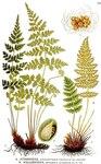 """Südlicher Wimperfarn - Woodsia ilvensis; Bildquelle: <a href=""""https://www.pflanzen-deutschland.de/quellen.php?bild_quelle=Carl Axel Magnus Lindman Bilder ur Nordens Flora 1901-1905"""">Carl Axel Magnus Lindman Bilder ur Nordens Flora 1901-1905</a>; Bildlizenz: <a href=""""https://creativecommons.org/licenses/publicdomain/deed.de"""" target=_blank title=""""Public Domain"""">Public Domain</a>;"""