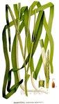 """Gewöhnliches Seegras - Zostera marina; Bildquelle: <a href=""""https://www.pflanzen-deutschland.de/quellen.php?bild_quelle=Carl Axel Magnus Lindman Bilder ur Nordens Flora 1901-1905"""">Carl Axel Magnus Lindman Bilder ur Nordens Flora 1901-1905</a>; Bildlizenz: <a href=""""https://creativecommons.org/licenses/publicdomain/deed.de"""" target=_blank title=""""Public Domain"""">Public Domain</a>;"""