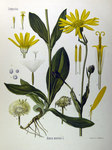 "Arnika - Arnica montana; Bildquelle: <a href=""https://www.pflanzen-deutschland.de/quellen.php?bild_quelle=Köhlers Medizinal-Pflanzen in naturgetreuen Abbildungen mit kurz erläuterndem Texte. Band 1. 1887"">Köhlers Medizinal-Pflanzen in naturgetreuen Abbildungen mit kurz erläuterndem Texte. Band 1. 1887</a>; Bildlizenz: <a href=""https://creativecommons.org/licenses/publicdomain/deed.de"" target=_blank title=""Public Domain"">Public Domain</a>;"