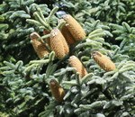 "Blaue Edeltanne - Abies procera; Bildquelle: <a href=""https://www.pflanzen-deutschland.de/quellen.php?bild_quelle=Wikipedia User Josve05a"">Wikipedia User Josve05a</a>; Bildlizenz: <a href=""https://creativecommons.org/licenses/by-sa/3.0/deed.de"" target=_blank title=""Namensnennung - Weitergabe unter gleichen Bedingungen 3.0 Unported (CC BY-SA 3.0)"">CC BY-SA 3.0</a>; <br>Wiki Commons Bildbeschreibung: <a href=""https://commons.wikimedia.org/wiki/File:Abies_procera_(Noble_fir)_-_Flickr_-_S._Rae.jpg"" target=_blank title=""https://commons.wikimedia.org/wiki/File:Abies_procera_(Noble_fir)_-_Flickr_-_S._Rae.jpg"">https://commons.wikimedia.org/wiki/File:Abies_procera_(Noble_fir)_-_Flickr_-_S._Rae.jpg</a>"