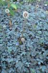 """Silbergraues Stachelnüsschen - Acaena caesiiglauca; Bildquelle: <a href=""""https://www.pflanzen-deutschland.de/quellen.php?bild_quelle=Wikipedia User Kenraiz"""">Wikipedia User Kenraiz</a>; Bildlizenz: <a href=""""https://creativecommons.org/licenses/by/4.0/deed.de"""" target=_blank title=""""Namensnennung 4.0 International (CC BY 4.0)"""">CC BY 4.0</a>;"""