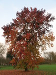 "Fächer-Ahorn - Acer palmatum; Bildquelle: <a href=""https://www.pflanzen-deutschland.de/quellen.php?bild_quelle=Wikipedia User Tangopaso"">Wikipedia User Tangopaso</a>; Bildlizenz: <a href=""https://creativecommons.org/licenses/by-sa/3.0/deed.de"" target=_blank title=""Namensnennung - Weitergabe unter gleichen Bedingungen 3.0 Unported (CC BY-SA 3.0)"">CC BY-SA 3.0</a>; <br>Wiki Commons Bildbeschreibung: <a href=""https://commons.wikimedia.org/wiki/File:Acer_palmatum,_Rentilly.jpg"" target=_blank title=""https://commons.wikimedia.org/wiki/File:Acer_palmatum,_Rentilly.jpg"">https://commons.wikimedia.org/wiki/File:Acer_palmatum,_Rentilly.jpg</a>"