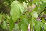 """Feuerahorn - Acer tataricum; Bildquelle: <a href=""""https://www.pflanzen-deutschland.de/quellen.php?bild_quelle=Wikipedia User Athenchen"""">Wikipedia User Athenchen</a>; Bildlizenz: <a href=""""https://creativecommons.org/licenses/by-sa/3.0/deed.de"""" target=_blank title=""""Namensnennung - Weitergabe unter gleichen Bedingungen 3.0 Unported (CC BY-SA 3.0)"""">CC BY-SA 3.0</a>; <br>Wiki Commons Bildbeschreibung: <a href=""""https://commons.wikimedia.org/wiki/File:Acer_tataricum2.jpg"""" target=_blank title=""""https://commons.wikimedia.org/wiki/File:Acer_tataricum2.jpg"""">https://commons.wikimedia.org/wiki/File:Acer_tataricum2.jpg</a>"""