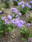 "Leberbalsam - Ageratum houstonianum; Bildquelle: <a href=""https://www.pflanzen-deutschland.de/quellen.php?bild_quelle=Wikipedia User File Upload Bot Magnus Manske"">Wikipedia User File Upload Bot Magnus Manske</a>; Bildlizenz: <a href=""https://creativecommons.org/licenses/by-sa/2.0/deed.de"" target=_blank title=""Namensnennung - Weitergabe unter gleichen Bedingungen 2.0 Unported (CC BY-SA 2.0)"">CC BY 2.0</a>;"